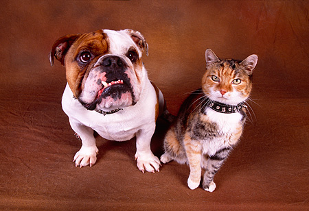 DOK 03 RK0182 16 © Kimball Stock Bulldog And Calico Cat Sitting Together On Brown Background