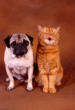 DOK 03 RK0184 07 © Kimball Stock Pug And Orange British Shorthair Sitting Together On Brown Background