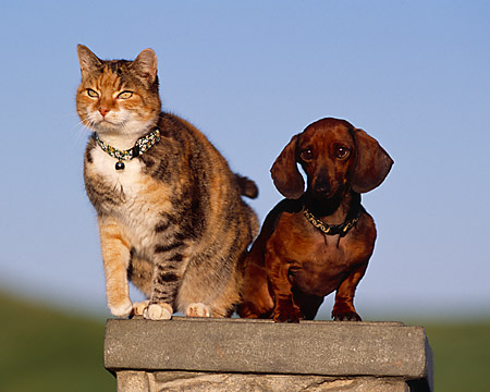 DOK 03 RK0189 11 © Kimball Stock Mini Dachshund And Multi Color Cat Sitting Together