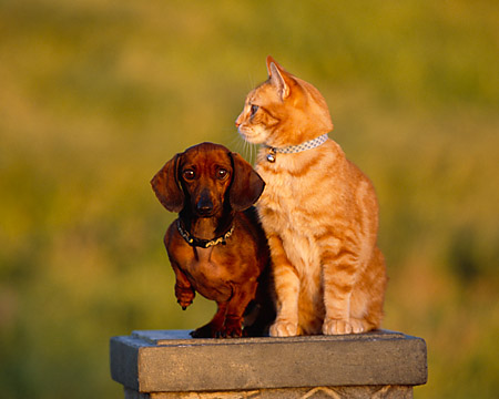 DOK 03 RK0190 25 © Kimball Stock Mini Dachshund And Orange Cat Sitting Together