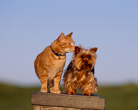 DOK 03 RK0191 07 © Kimball Stock Yorkshire Terrier And Orange Cat Sitting Together