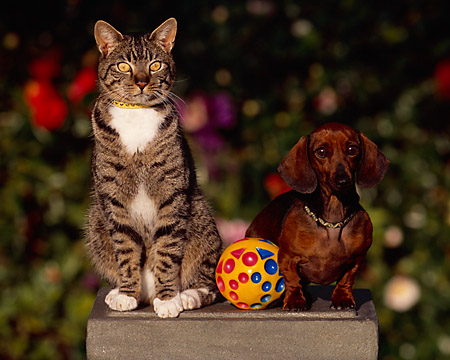 DOK 03 RK0194 01 © Kimball Stock Mini Dachshund And Gray Tabby Cat Sitting Together