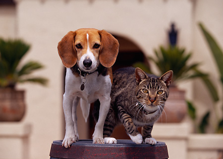DOK 03 RK0198 06 © Kimball Stock Beagle And Tabby Cat On Barrel By House