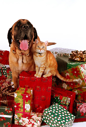 DOK 03 RK0202 06 © Kimball Stock Bullmastiff And Orange Cat Sitting With Christmas Presents On White Seamless