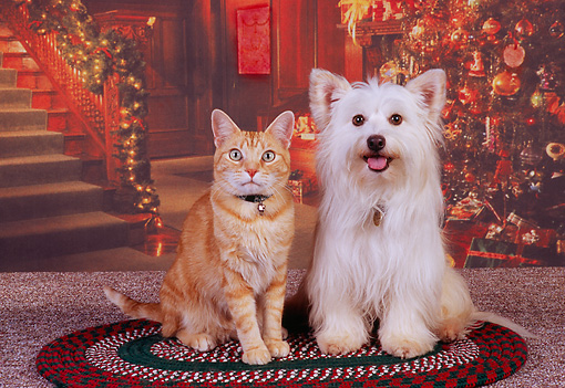 DOK 03 RK0204 07 © Kimball Stock Mixed Breed Terrier And Orange Cat Sitting On Rug Christmas Tree Background