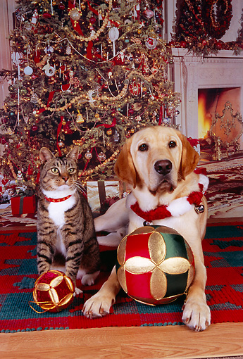 DOK 03 RK0211 03 © Kimball Stock Labrador Retriever And Tabby Laying Together With Balls Christmas Tree Background