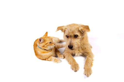 DOK 03 RK0218 01 © Kimball Stock Mixed Breed Terrier And Orange Cat Laying On White Seamless