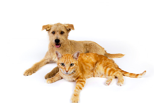 DOK 03 RK0219 01 © Kimball Stock Mixed Breed Terrier And Orange Cat Laying On White Seamless
