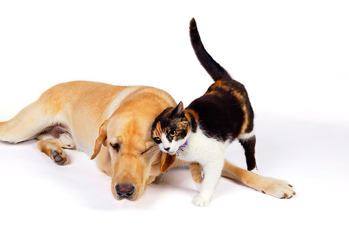 DOK 03 RK0222 01 © Kimball Stock Labrador Retriever And Calico Cat On White Seamless