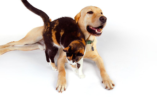 DOK 03 RK0223 01 © Kimball Stock Labrador Retriever And Calico Cat On White Seamless