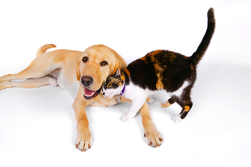 DOK 03 RK0224 01 © Kimball Stock Labrador Retriever And Calico Cat On White Seamless