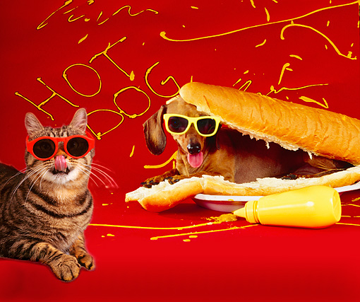 DOK 03 RK0254 01 © Kimball Stock Tabby Cat Wearing Sunglasses By Dachshund In Hot Dog