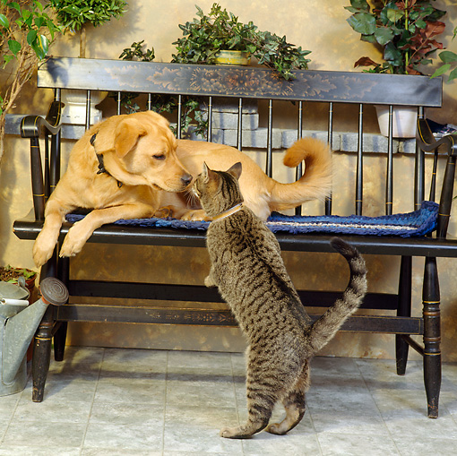 DOK 03 RS0005 04 © Kimball Stock Mixed-Breed Dog On Bench Sniffing Gray Tabby Cat