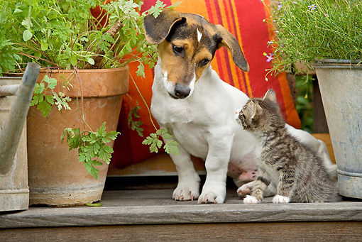 DOK 04 JE0001 01 © Kimball Stock Jack Russel Terrier And Tabby Kitten Sitting On Bench With Potted Plant And Purple Daisies In Bucket