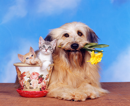 DOK 04 RK0002 07 © Kimball Stock Mixed Breed With Flower In Mouth With Two Kittens In Flower Pot Blue Sky