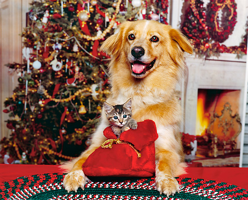 DOK 04 RK0057 06 © Kimball Stock Golden Retriever Mix Laying With Kitten In Red Santa Boot In Between Legs Christmas Setting