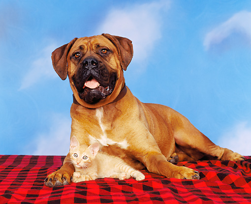 DOK 04 RK0066 04 © Kimball Stock Bullmastiff And Orange Kitten On Red And Black Material Blue Sky Clouds