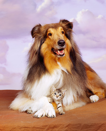 DOK 04 RK0084 04 © Kimball Stock Collie And Tabby Kitten Laying On Brown Carpet Purple Sky Clouds