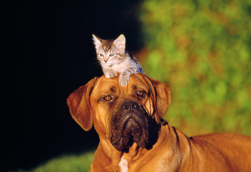 DOK 04 RK0127 09 © Kimball Stock Brown Boxer Laying With Kitten On Head