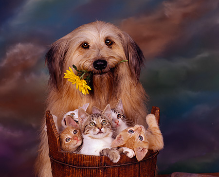 DOK 04 RK0003 18 © Kimball Stock Mixed-Breed Dog Holding Flower Sitting By Bucket Of Five Kittens