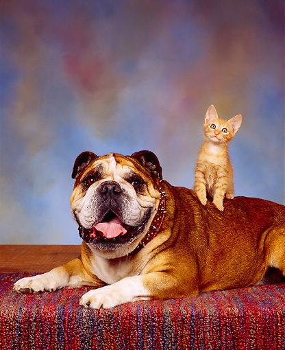 DOK 04 RK0008 07 © Kimball Stock Orange Kitten Sitting On Bulldog Laying On Carpet