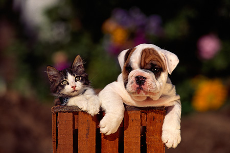 DOK 04 RK0012 22 © Kimball Stock Head Shot Of Bulldog Puppy And Gray And White Kitten In Wooden Barrel