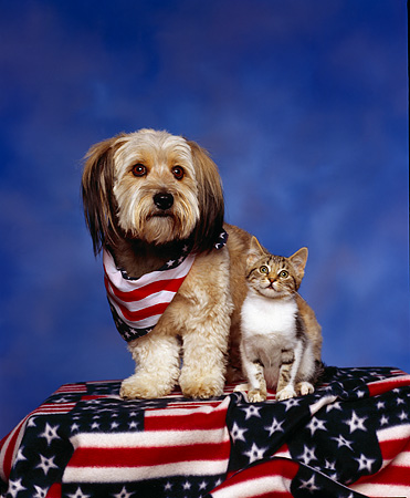 DOK 04 RK0029 01 © Kimball Stock Mixed Breed And Kitten On American Flag Blanket Blue Mottled Background