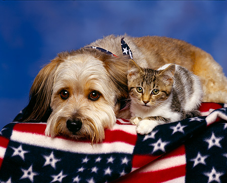 DOK 04 RK0031 05 © Kimball Stock Mixed Breed And Tabby Kitten Laying Together On American Flag Blanket