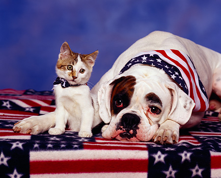 DOK 04 RK0052 01 © Kimball Stock Boxer And Tabby Kitten Sitting Together On American Flag Sheet