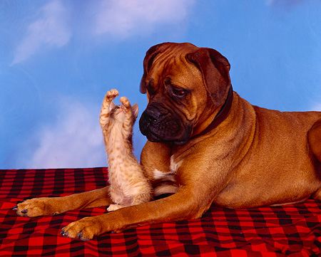 DOK 04 RK0064 09 © Kimball Stock Bullmastiff Laying With Orange Kitten On Red And Black Material Blue Sky Clouds