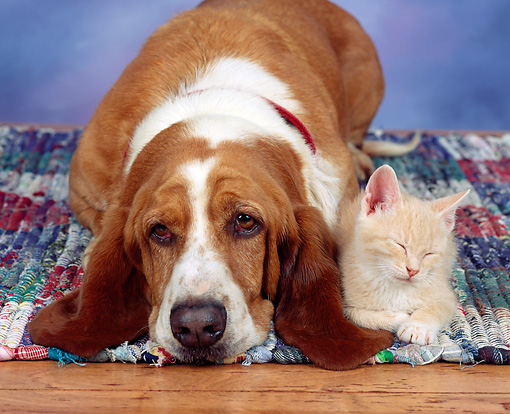 DOK 04 RK0098 03 © Kimball Stock Basset Hound And Kitten Laying On Rug Facing Camera
