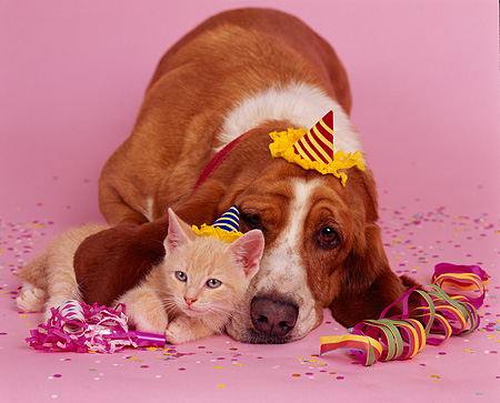 DOK 04 RK0103 07 © Kimball Stock Basset Hound And Orange Kitten Laying Together With Party Decorations On Pink Seamless