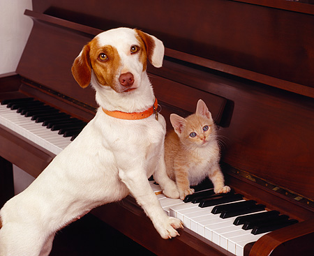 DOK 04 RK0108 01 © Kimball Stock Jack Russell Terrier And Orange Kitten On Piano Keys