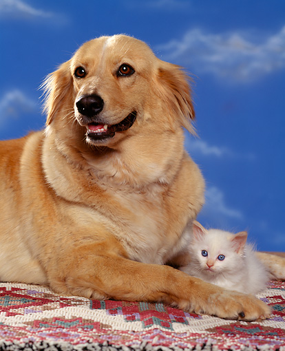 DOK 04 RK0112 02 © Kimball Stock Golden Retriever Mix Laying With White Kitten On Rug Blue Sky Studio