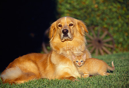DOK 04 RK0132 07 © Kimball Stock Golden Retriever Mix And Orange Kitten Laying On Grass Together