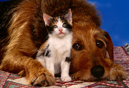DOK 04 RK0136 06 © Kimball Stock Head Shot Of Mixed Breed With Kitten Laying Down On Quilt