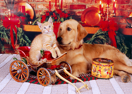 DOK 04 RK0156 08 © Kimball Stock Golden Retriever And Orange Kitten Sitting In Wagon Christmas Background