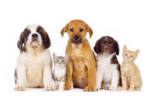 Group Of Puppies And Kittens Sitting In A Row On White Seamless
