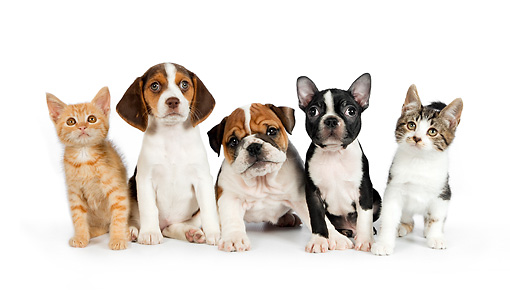 DOK 05 RK0014 01 © Kimball Stock Beagle, English Bulldog, And Boston Terrier Puppies And Tabby Kittens On White Seamless