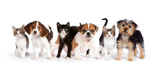 DOK 05 RK0017 01 © Kimball Stock Beagle, English Bulldog, And Yorkshire Terrier Puppies With Kittens On White Seamless