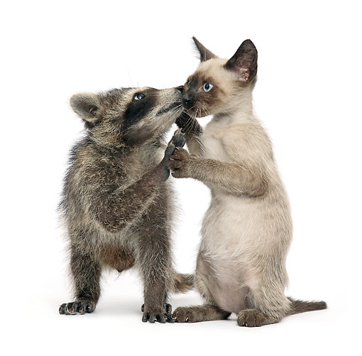 DOK 05 XA0001 01 © Kimball Stock Siamese Kitten Playing With Raccoon In Studio