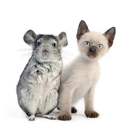 DOK 05 XA0011 01 © Kimball Stock Siamese Kitten With Chinchilla In Studio