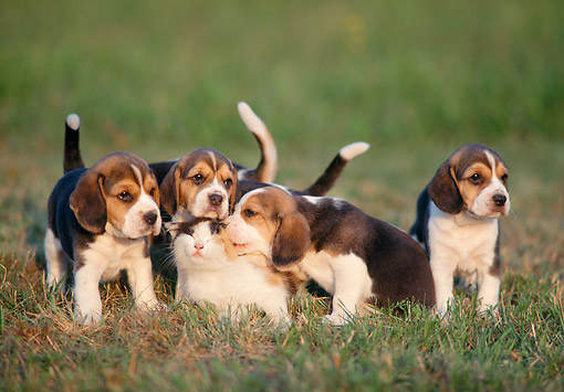 DOK 06 AB0001 01 © Kimball Stock Beagle Puppies On Grass With Calico Cat