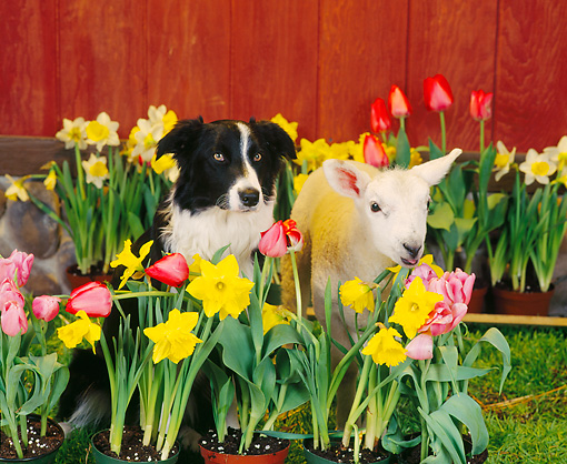 DOK 07 RS0001 02 © Kimball Stock Border Collie And Lamb In Flowers