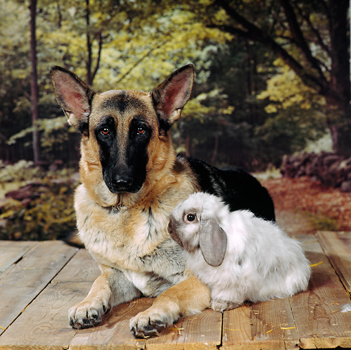 DOK 07 RS0006 01 © Kimball Stock German Shepherd And Lop Eared Rabbit Trees Background