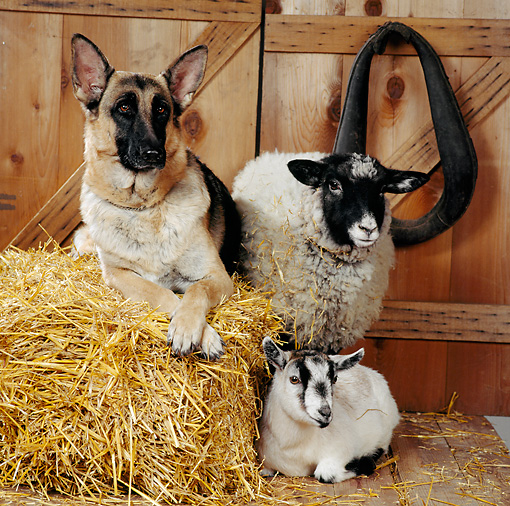 DOK 07 RS0008 02 © Kimball Stock German Shepherd Sheep And Goat In Barn