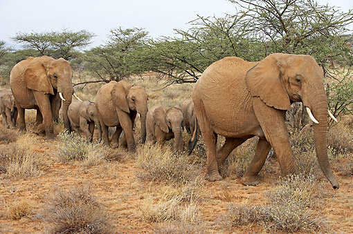 ELE 01 GL0003 01 © Kimball Stock African Elephant Adults And Young Walking In Kenya