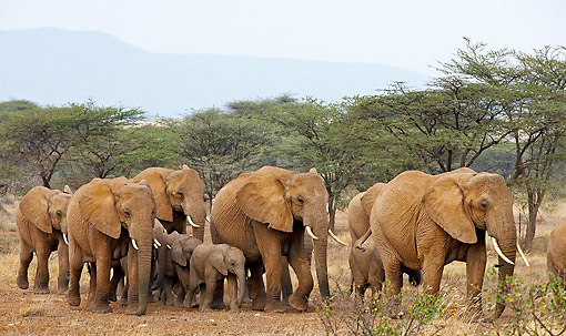 ELE 01 GL0008 01 © Kimball Stock African Elephant Adults And Young Walking In Kenya
