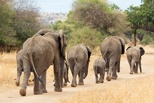 ELE 01 JM0002 01 © Kimball Stock Herd Of African Elephants Walking On Savanna Tanzania