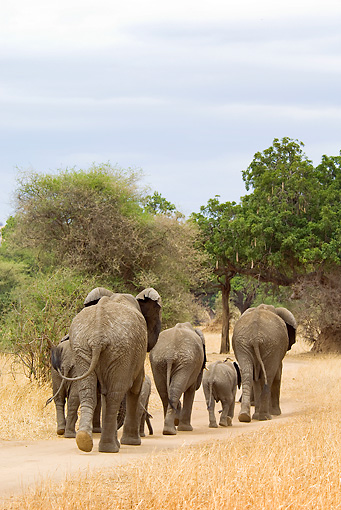 ELE 01 JM0003 01 © Kimball Stock Herd Of African Elephants Walking On Savanna Tanzania